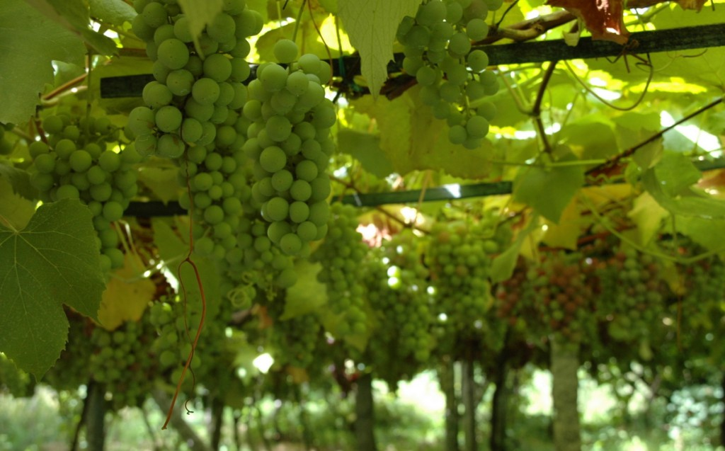 Uvas de Albariño